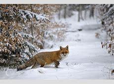 Rotfuchs im Schnee 2 Forum für Naturfotografen