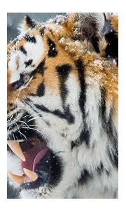 1920x1080 Tiger Roar Teeth Laptop Full HD 1080P HD 4k ...