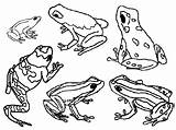 Frog Dart Poison Frogs Coloring Clipart Drawing Animals Printable Animal Darts Sheets Outline Glass Colouring Tattoo Drawings Posion Clip Stick sketch template