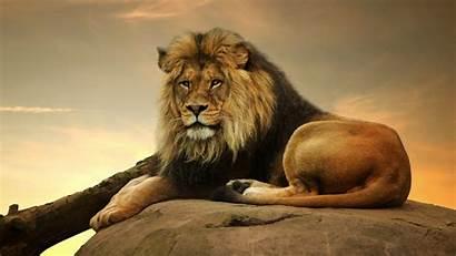 4k Resolution Lion Desktop Male Pixelstalk Cry
