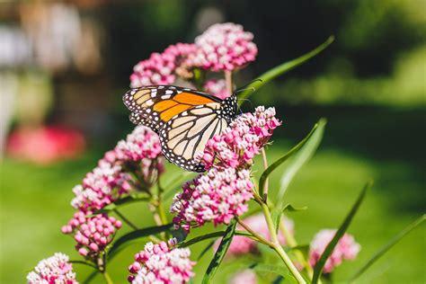 grow  care  common milkweed plants