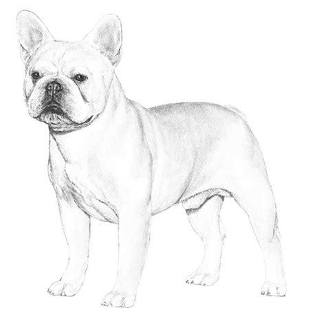 french bulldog frenchie dog breed information american