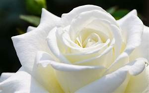 Beautiful White Rose HD Wallpapers | HD Wallpapers Fit ...