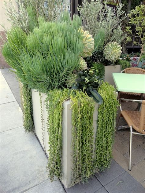 cascading succulent plants 17 best images about weeping succulents on pinterest donkeys hindus and head planters