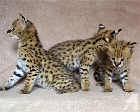 Serval Kittens For Sale For Sale In Atlanta, Georgia