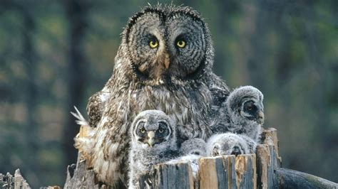 arrogant owl family wallpaper hd animals  birds