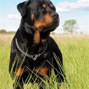A black Rottweiler Dog in the grass field Wallpaper ...