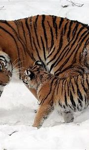 Amur Tigers living and reproducing in China at the ...