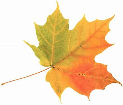 Leaf Leaves Chinar Clipart Transparent Fall Webstockreview