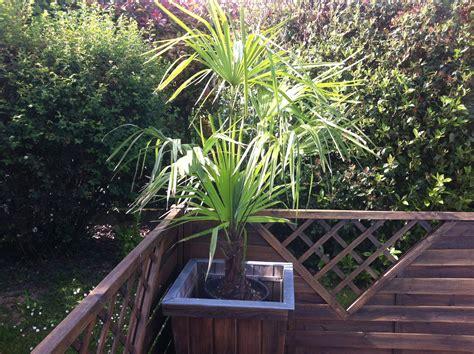 trachycarpus fortunei le palmier r 233 sistant au gel jardinier pro