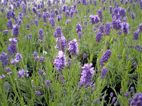 varieties of lavender plants choosing lavender for making dried flower bunches at home dried flower crafts