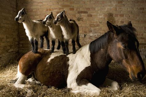 horse horses companion goats stable need young companions does equine christe glad julia non getty friends standing