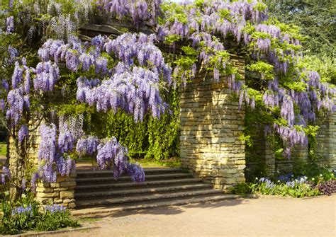 Kletterpflanze Mit Blüten by Kletterpflanze Blauregen Prolific Das Gartenmagazin