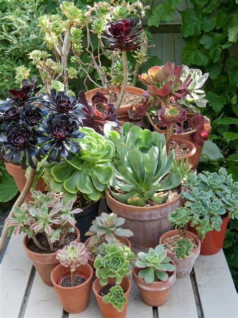 succulent gardens in pots succulent container gardening hgtv