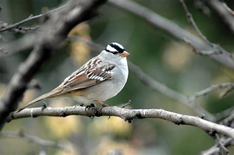 white crowned sparrow celebrate urban birds