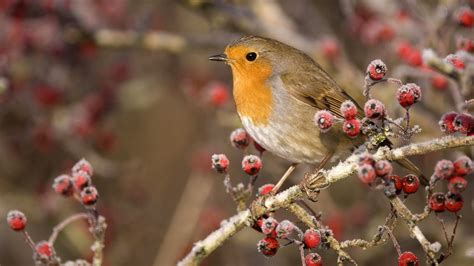 birds, Scotland, European, Robins Wallpapers HD / Desktop ...