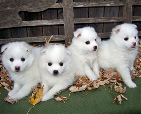 healthiest toy breed dogs dog breeds picture