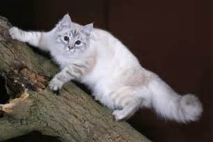 siberian forest cat the siberian cat your best photo site for beautiful cats