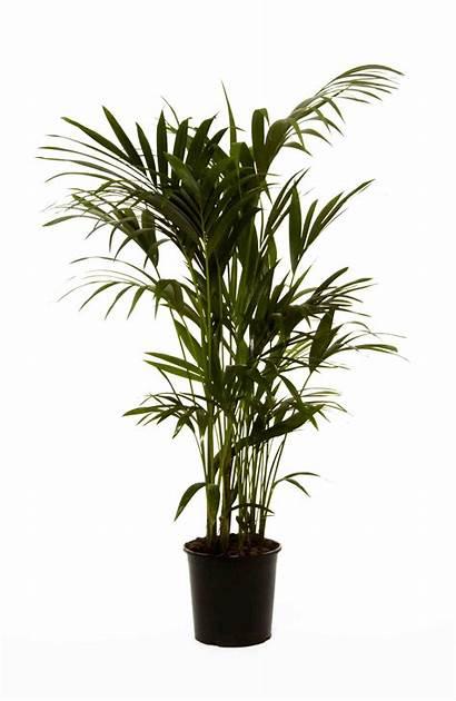 Plants Office Palm Kentia Howea Forsteriana Palms