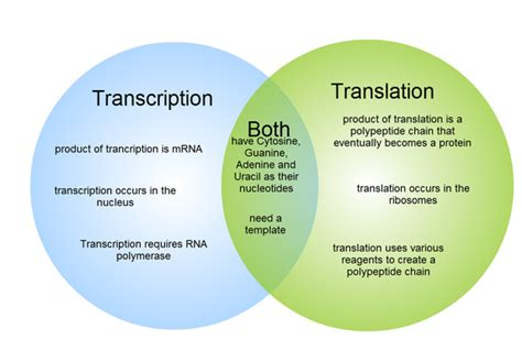 What Are The Major Differences Between Transcription And Translation In Dna And Rna? Quora