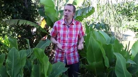 planter un bananier comment planter un bananier