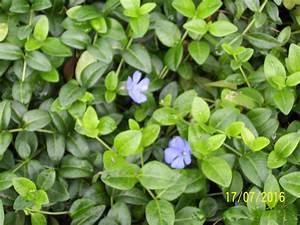 Bodendecker Blau Blühend Winterhart : kleines immergr n vinca minor blau 10 jungpflanzen ~ Michelbontemps.com Haus und Dekorationen