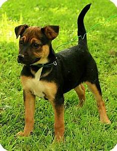 Madison | Adopted Puppy | DG | Staunton, VA | German ...