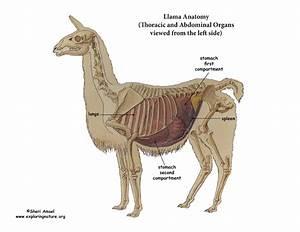 Llama Thoracic  U0026 Abdominal Organs  Left View