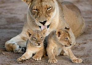 Mother Lion with two cubs | Favorite Animals | Pinterest ...