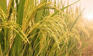 The System Of Rice Intensification U0026 39 S Role In Hunger