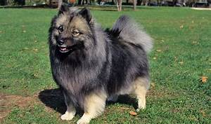 Keeshond Breed Information