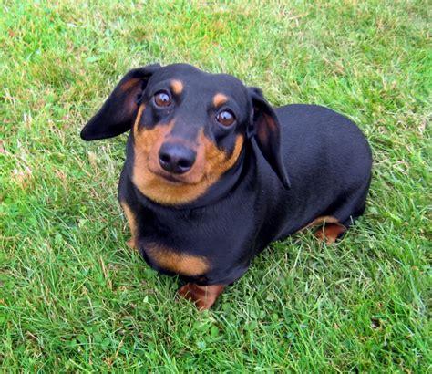 Images Of Wiener Dogs Wiener Www Pixshark Images Galleries With