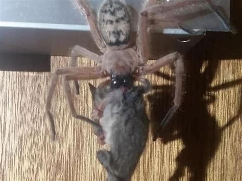 giant possum eating spider exists  australia