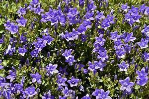 Weiße Stauden Mehrjährig : glockenblumen so gedeihen sie mehrj hrig ~ Eleganceandgraceweddings.com Haus und Dekorationen