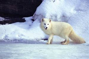7 Animals That Turn White In Winter