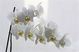 Schöne Orchideen Bilder : wei e orchideen foto bild pflanzen pilze flechten bl ten kleinpflanzen orchideen ~ Orissabook.com Haus und Dekorationen