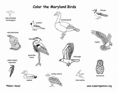 State Birds Coloring Maryland Md