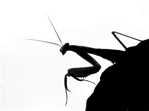 Praying Mantis Coming Over a Rock - Black and White