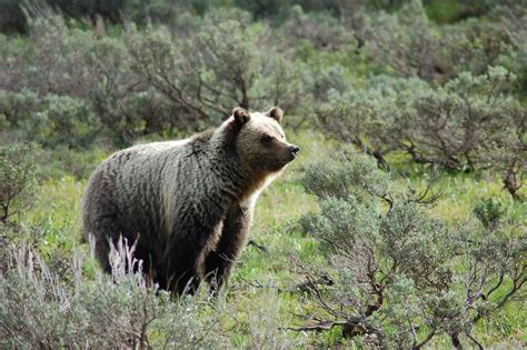 grizzly bears move into new areas lower elevations news