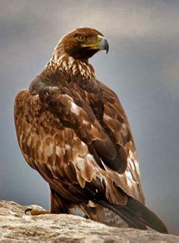 golden eagle credit usfws