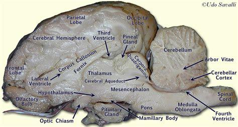 sheep brain anatomy diagram labeled sheep brain sheep brain view labeled