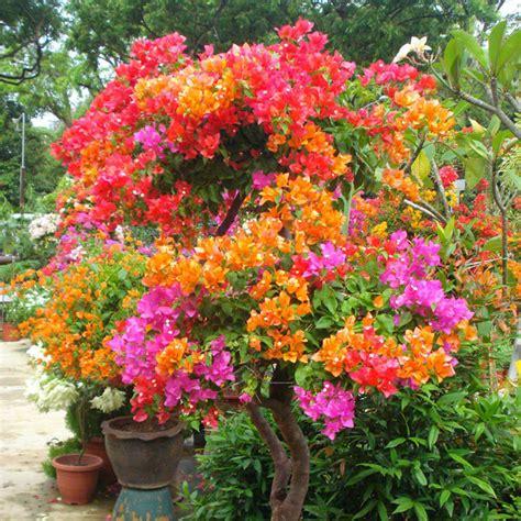 bougainvillea colors 100 mix color bougainvillea spectabilis willd flower
