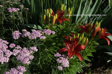 cool combos achillea  asiatic lily growing  home