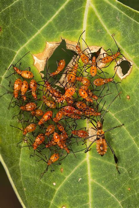 rid  rid  stink bugs tomatoes wwwe bedbugs