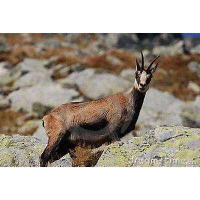 Rupicapra (Alpine Chamois) Stock Image -