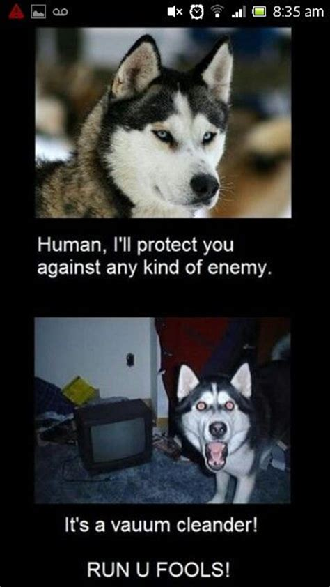 Husky Memes - this is definately shiver the vacume makes her crazy husky dog meme bionichumor www