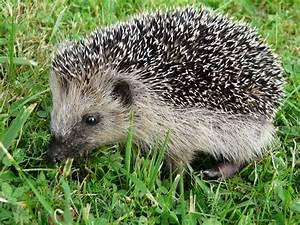 Bilder Von Igel : kleiner igel foto bild tiere wildlife s ugetiere bilder auf fotocommunity ~ Orissabook.com Haus und Dekorationen