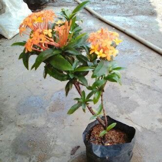 tanaman hias bunga soka asoka india oranye elevenia