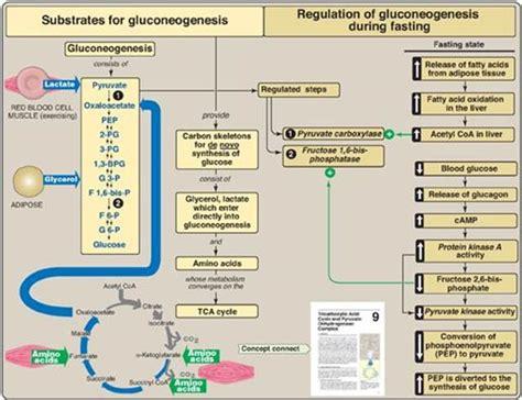 gluconeogenesis bioenergetics  carbohydrate