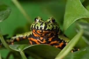 Oriental Fire Belly Toad